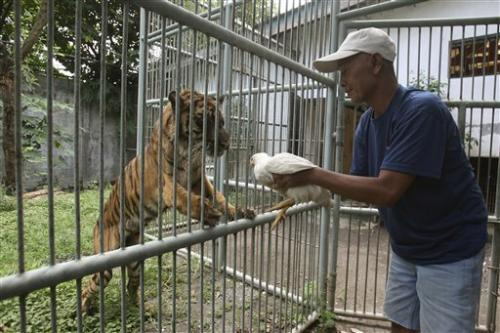 Sumatran tiger may be euthanized at Indonesia zoo