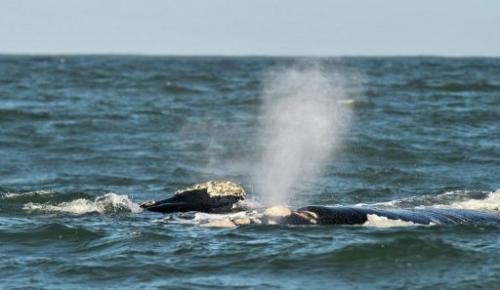 A Southern Right whale is seen on September 5, 2013 near the town of Hermanus, at the southern coast of South Africa