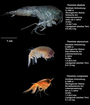 Atlantic amphipods are now reproducing in Arctic waters