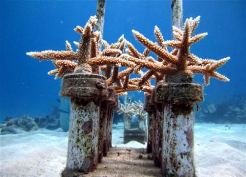 Coral comeback: Reef 'seeding' in the Caribbean