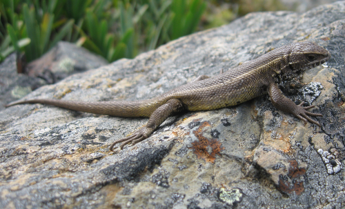 Describing biodiversity on tight budgets: 3 new Andean lizards discovered