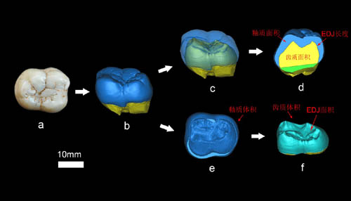 Exploring dental enamel thickness of giant ape by using high-resolution CT