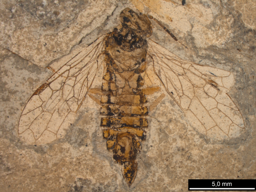 Fossils clarify the origins of wasps and their kin: alderfly ancestors, snakefly cousins
