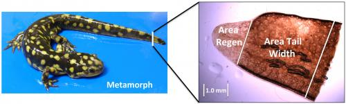 Genetic factors shaping salamander tails determine regeneration pace