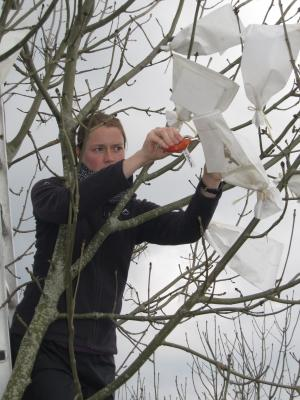 Genome sequence for mother of ash dieback survival