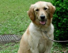 Golden retriever study suggests neutering affects dog health
