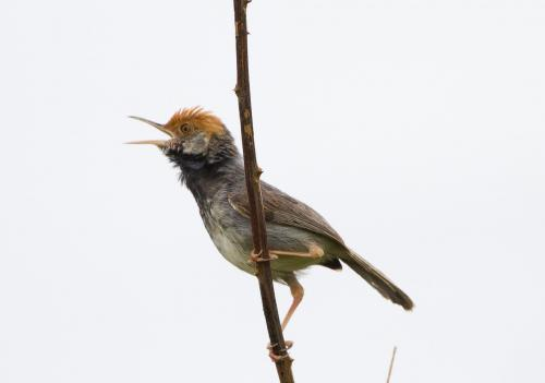 Hiding in plain sight: New species of bird discovered in capital city
