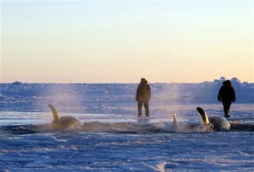 Killer whales trapped in Quebec sea ice