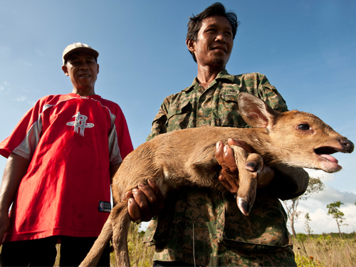 New populations of Indochina's rarest deer discovered in Cambodia