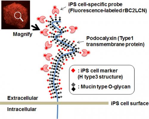 Novel probe for live human iPS cell imaging