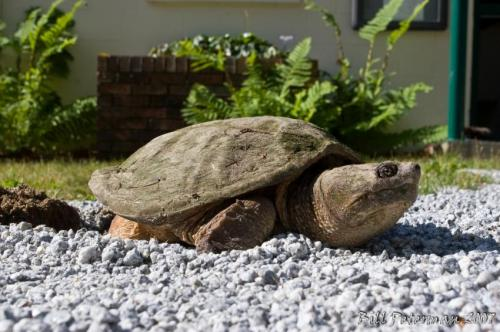 Snapping turtles finding refuge in urban areas while habitats are being polluted