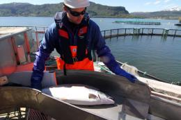 Sterile farmed salmon can reduce genetic impact on wild fish