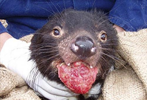 Tasmanian devils: Will rare infectious cancer lead to their extinction?
