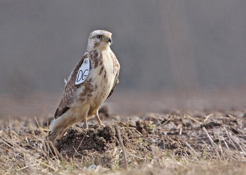 The molecular clock of the common buzzard