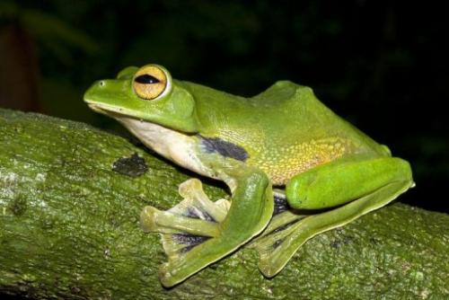 This handout picture taken by Jodi Rowley and released by Australian Museum on January 15, 2013 shows Helen's Flying Frog