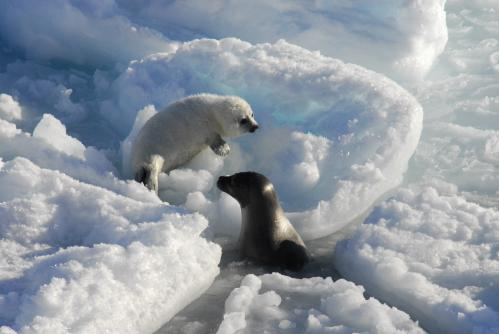 Climate change: Polar bears change to diet with higher contaminant loads
