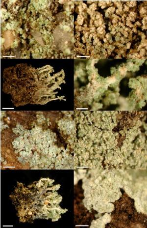 Researcher's studies yield surprises about lichens, biodiversity