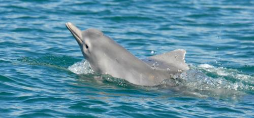 Scientists find that dolphin in Australian waters is a new species