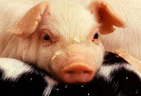 Veterinary scientists track the origin of a deadly emerging pig virus in the United States
