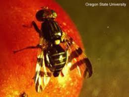 Genetic analysis saves major apple-producing region of Washington state