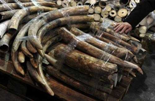 Seized ivory tusks are displayed during a Hong Kong Customs press conference on January 4, 2013