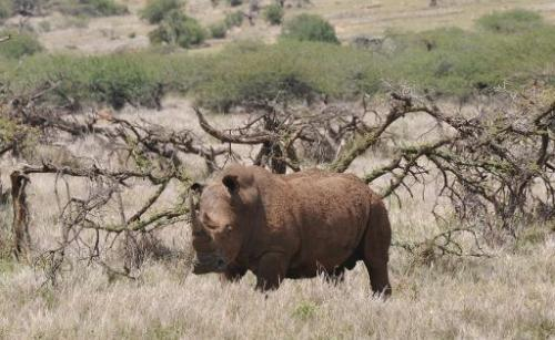 A male white rhino grazes at the Lewa Wildlife Conservancy on November 18, 2010