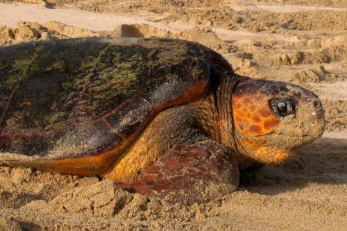 Scientists found evidence why female loggerhead sea turtles always return to their place of birth