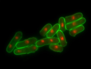 Scientists unlock secrets of cell reproduction