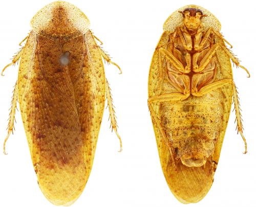 The giant cockroach genus Pseudophoraspis expands to the north with three new species