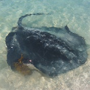 Researchers documented the feeding habits of five species of Ningaloo stingray