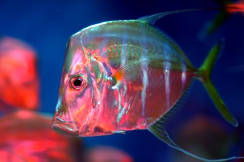 Researchers discover a new way fish camouflage themselves in the ocean