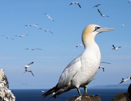 Gannets don't eat off each other's plates, researchers show