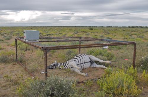 Scientists cage dead zebras in Africa to understand the spread of anthrax