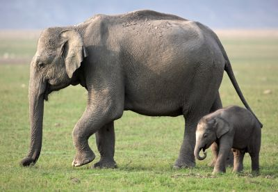 Scientists make progress in fight against virus killing captive elephants