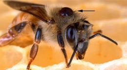 Researchers preparing bee semen bank