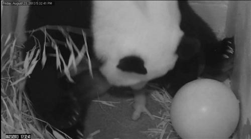 US panda cub described as healthy and vibrant