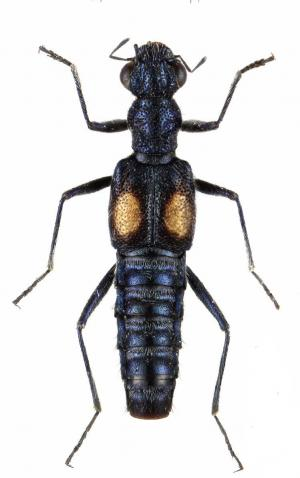4 new species of water-gliding rove beetles discovered in Ningxia, China
