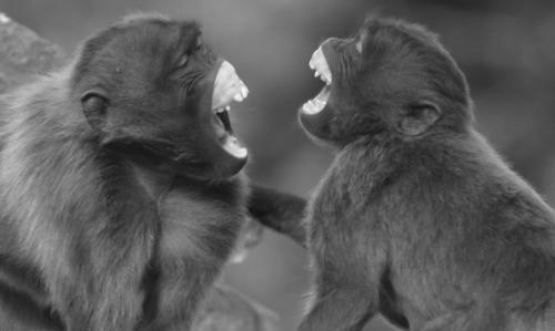 Researchers find non-ape species engages in rapid facial mimicry