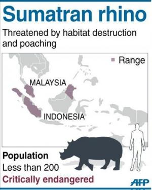Graphic on the critically endangered Sumatran rhino