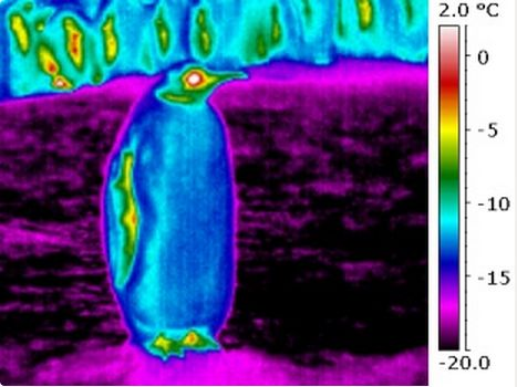 Emperor penguin body surfaces cool below air temperature