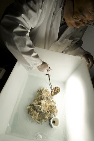 Researchers make oysters safer to eat with improved purification method