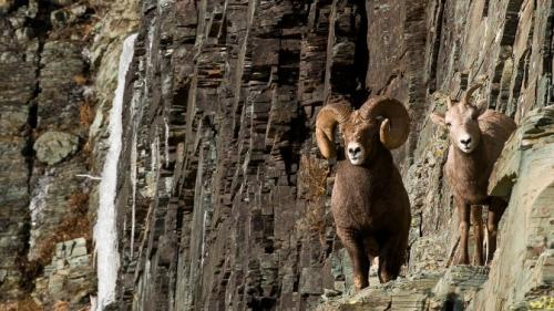 Scientists make strides toward restoring bighorn sheep in the American West