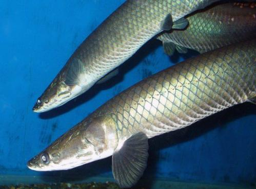 New species of giant Amazonian fish reported