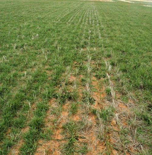 AgriLife Research study: Cover crops use water, but benefit soil health