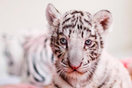 A 42-day-old white bengal tiger cub at Huachipa zoo in Lima, Peru on August 6, 2013