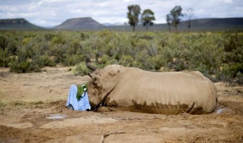 A badly injured white rhino lies in a hollow after poachers sawed off its horn in Cape Town on August 22, 2011