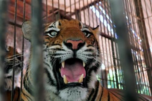 A Bengal tiger remains in its cage at the zoo in Asuncion, on November 20, 2012