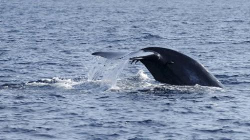 A blue whale's fluke is photographed in the waters off the southern Sri Lankan town of Mirissa on January 21, 2012