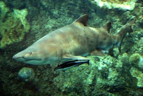 A bull shark swimming in a tank in Brest, France on September 3, 2003
