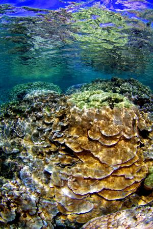Abundance and distribution of Hawaiian coral species predicted by model